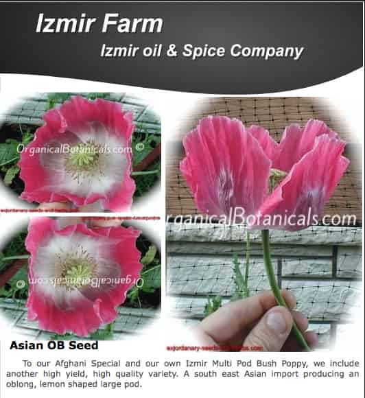 'Izmir Asian OB' Papaver Somniferum Poppy Seeds ~ Izmir Farms ~